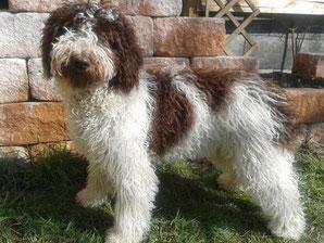 Lagotto Spanischerwasserhund Lagotto Webseite