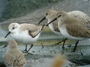・2008年2月2日 一ノ宮川河口  ・左:ミユビシギ冬羽、右:ハマシギ冬羽   ・ハマシギの方が嘴が長く、体も大きい。