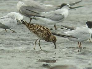 ・2013年8月23日 三番瀬  ・アジサシ類と一緒に舞い上るときと、干潟に1羽ポツンと残ったままのときもあった。