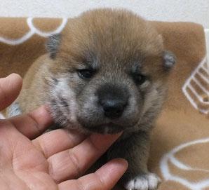志乃の子犬赤柴メスの画像