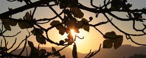 Feigenbaum in der Abendsonne, schöne Stimmung, Sinnlichkeit, Schönheit, berührt sein, Herzfeuer, Liebe, Hingabe, geborgen fühlen