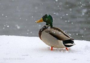 Stockerpel im Schnee