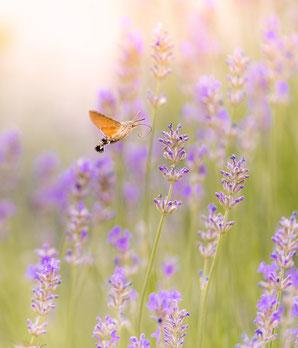 Taubenschwänzchen; Lavendel