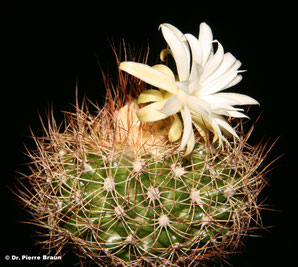 Discocactus zehntneri ssp. horstiorum