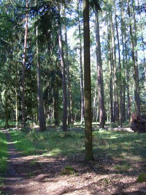 Übergang vom Kiefernwald in den Erlenbruch