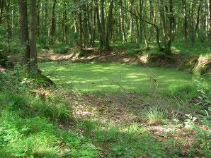 Waldteich mit Wasserlinsen (Entengrütze)