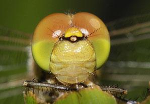 Kopfstudie einer jungen Großen Heidelibelle, Sympetrum striolatum.