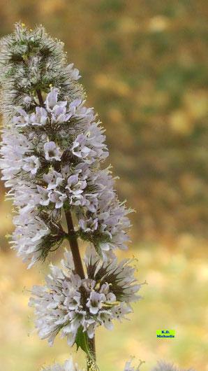 Detailaufnahme der Einzelblüten einer blühenden Minze von K.D. Michaelis
