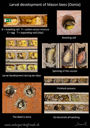 poster larval development mason bee breeding cell cocoon hatching