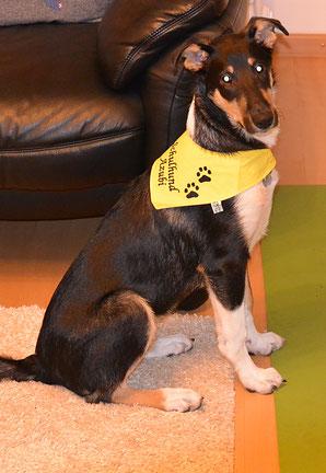 Blade, 16 Wochen alt, trägt ein gelbes Halstuch mit der Aufschrift Schulhund-Azubi.