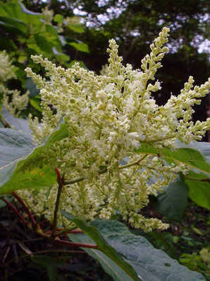 オオイタドリ 小さな花を多数つけます