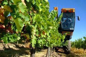 D.O.モンティーリャ・モリレスで2014年の収穫開始 (www.vinetur.com)