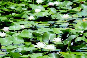 純白の花を咲かせるスイレン。訪れる人々が近くで涼を取る姿も=24日午前、ジュマール楽園