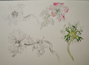 Fading Anemones (Pencil drawing,Watercolor painting,dessin)