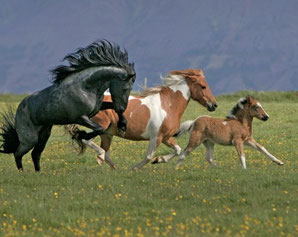 photo : Association des Eleveurs de Chevaux d'Islande