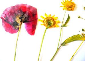 Getrocknete Blüten trockenblumen getrocknete blüten giordano s olivenöl und mehr