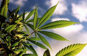 Nährstoffe & Mangelerscheinungen in der Wachstumsphase von Hanf Cannabis