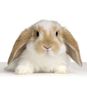 Foto eines weißen Kaninchens