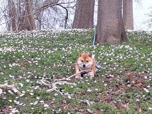 Shiba in Buschwindröschen