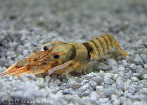 Lethargische Garnelen oder Krebse liegen teilnahmslos am Boden und zeigen kaum einen Fluchtreflex.
