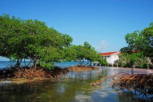 Mangroven - Belize