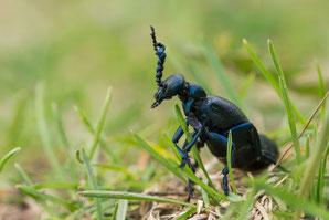 Männchen vom schwarz-blauen Ölkäfer