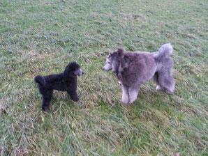 Lotte, drei Monate trifft ihren Cousin Bendith , der ganz  in der Nähe wohnt - klein ist die Pudelwelt