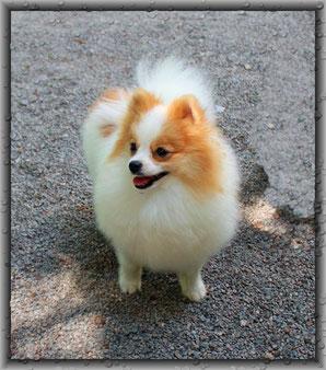 Pomeranian Rüde Eliot von der Arnold's Eiche