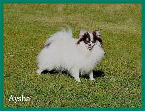 Pomeranian Hündin Aysha von der Arnold's Eiche.