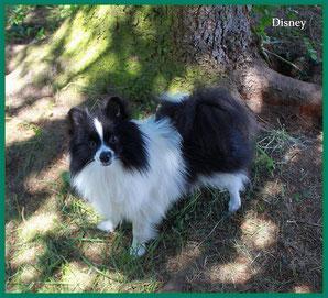 Pomeranian Hündin Disney von der Arnold's Eiche.
