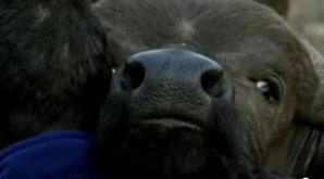 Salviamo il bufalo