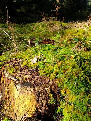 Babybäumchen auf altem Baumstumpf