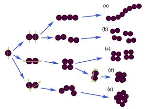 Verschiedene Organisationstypen von Kokken: (a) Kettenkokken, (b) Diplokokken, (c) Tetraden, (d) Paketkokken, (e) Haufenkokken