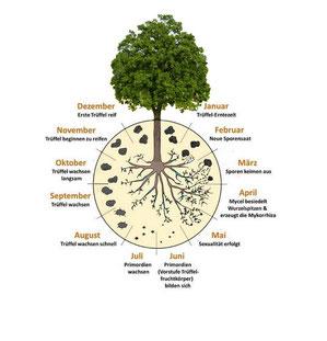 Trueffelbaeume kaufen - Trüffelbäume bestellen - Online Shop . Trüffelbaum bestellen - Selbst pflanzen im Garten oder auf der Trüffelplantage