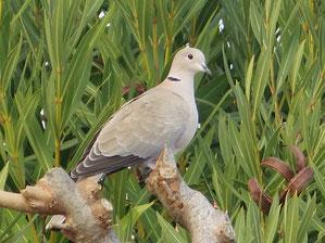 04. März 2016 - Was ist besser als die Taube auf dem Baum ?