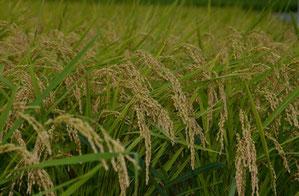 収穫間近の庵田米。