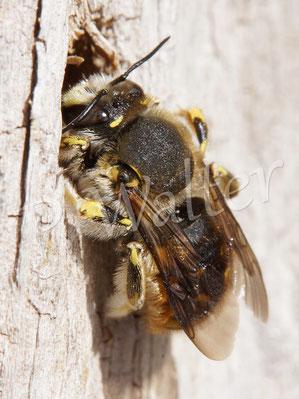 09.07.2016 : ein Männchen der Garten-Wollbiene, das um 10 Uhr früh dann doch mal aus dem Übernachtungsbohrloch kommt