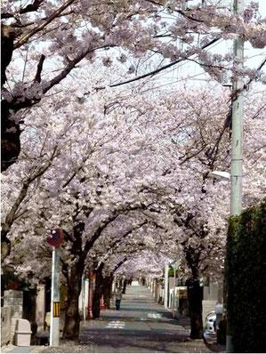 桜井4番通りの桜並木