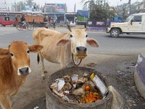 ゴミ箱でみかんを発見して口がオレンジ色になっちゃった牛さん。すごい爽やかな匂いがしてました。