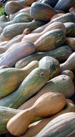 Harvested giant squash, Peristerona, January