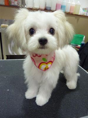 ゆなちゃん❤まだ仔犬チャン☆おめ目が真ん丸で美人さんだね!