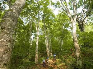 ブナ林の中の急登を行く