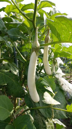 ミモレ農園 農薬不使用 白長なす 下町美人