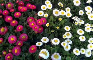 Gärtnerei Lächele - Gänseblümchen