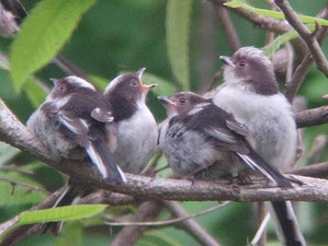 ・2005年5月1日  駒木ふるさとの森(柏市)   ・餌をねだる巣立ち雛。