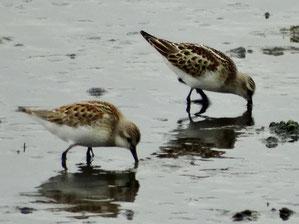 ・ヨーロッパトウネン(右) 2014年9月1日 谷津干潟  ・トウネン(左)と比べ、ヨーロッパトウネン(右)は前傾姿勢で採餌。