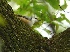 ・2006年11月23日 秋ケ瀬公園  ・何気なくシジュウカラの一群を眺めていて、ゴジュウカラを偶然見つけた。 シジュカラが飛び去ったあとも、ゴジュウカラ一羽が、黙々と樹の幹を動きまわっていた。