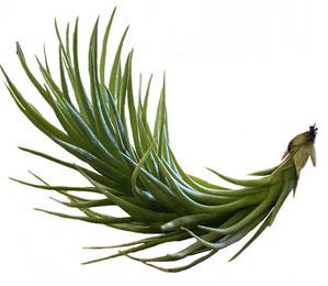 Tillandsia tenuifolia vaginata