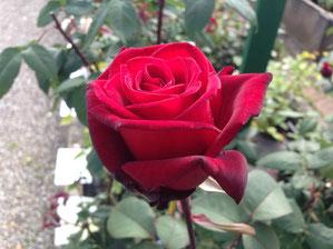 rosenliste rosengalerie niedersachsens gr te. Black Bedroom Furniture Sets. Home Design Ideas