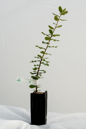 chene vert truffier